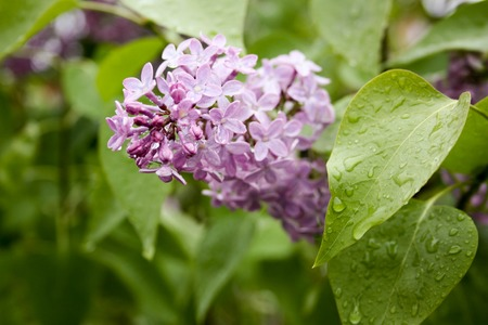 Lilac in droplets of dew. Serene gentle petals. Photo for your design.