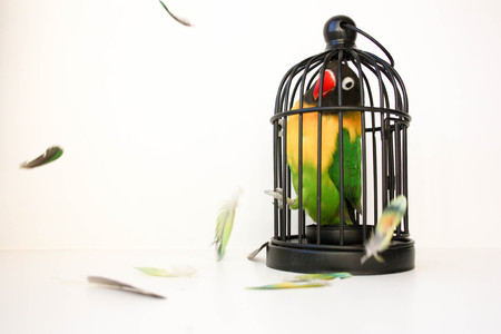 Fear of a closed space concept. A bird in a cage and feathers. a parrot. on a white background. Photo for your design