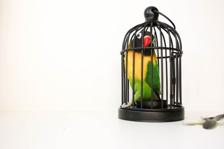 Parrot beautiful with an orange nose in a cage on a white background. Photographic with feathers scattered. Photo for your design