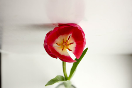 Flower red bud opening. A gift to a woman. Photo for your design. Stock Photo