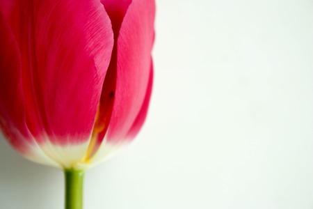 Bud red. The opened flower. Photo for your design.