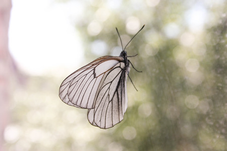 gloss banner: Concept of boredom. A butterfly on the window looking out of the window. Photo for your design.