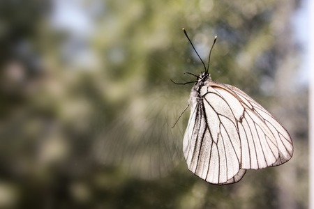 gloss banner: Butterfly on the glass with its reflection to creep up. White cabbage. Photo for your design. Stock Photo