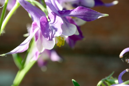 tilting: Flower purple - white. bell. Unusual and beautiful. nature. Tilted his head down. Photo for your design