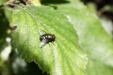The fly is brightly green shining, with a transparent berylymina birch leaf green with large eyes. Photo for your design.