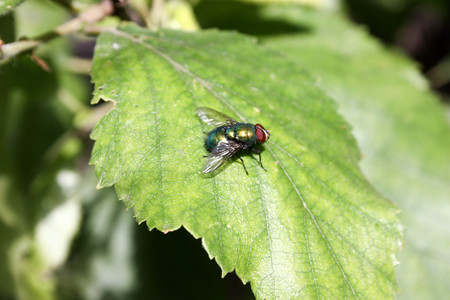 The fly is bright green on the birch leaf with big eyes. Photo for your design. Stock Photo