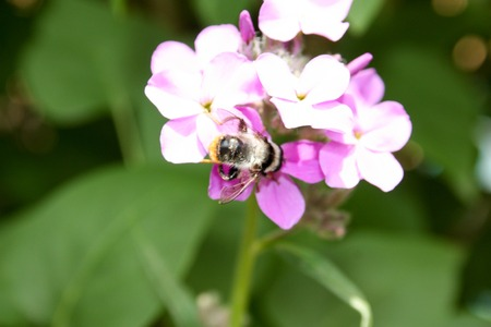 nectar: Bumblebee on a pink flower. Nature summer. Photo for your design. Stock Photo