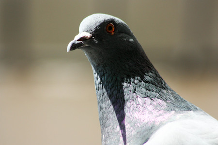 Dove in search of food. The head of a dove is close. In the conditions of the city. Photo for your design Stock Photo