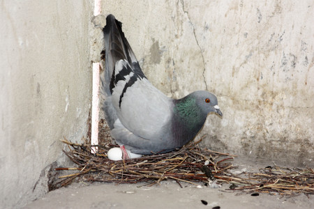 The pigeon eats the seeds next to the nest and eggs. Photo for your design