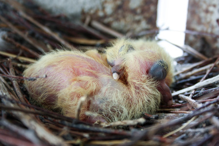 Chicks of the pigeon. Two pieces. In a nest of branches. Sleep. first birthday. Photo for your design.