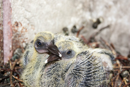 Pigeon children in the nest. With plumage small. Photo for your design.
