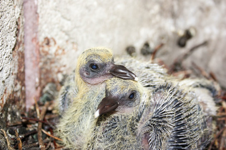 Pigeon children in the nest. Put his beak on his brothers head. With plumage small. Photo for your design. Stock Photo