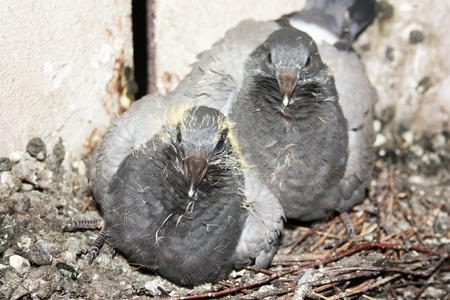 feral: Birds in the nest. Pigeon pair. Photo for your design.