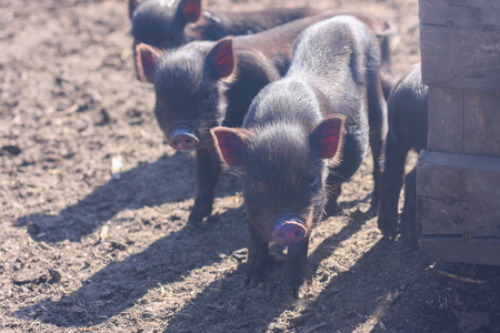 piglets are pretty small. family of pigs. black piglets. year of the Chinese pig Stock Photo