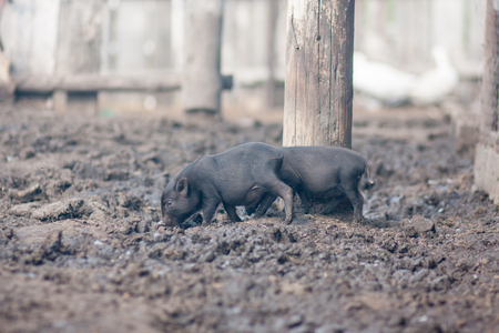 swine flu. two small and defenseless pigs. illness and death. livestock Stock Photo