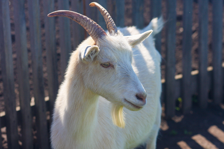 The goat is white. a legendary animal. beautiful animal Stock Photo