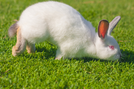 the smell of grass excites. stock and taste. Easter rabbit on green grass. white rabbit with long ears