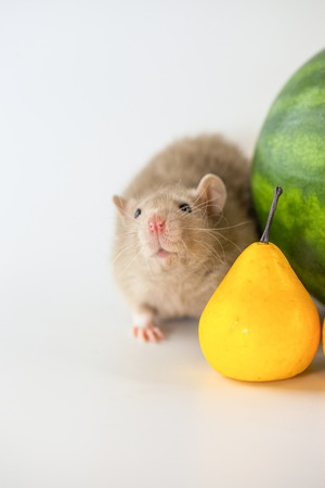 Rat beige eats a pear. calendar symbol. Berries and fruits on white background