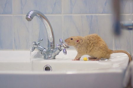 hygiene concept. the beige mouse turns the valve on the faucet to wash . symbol of 2020. Chinese horoscope
