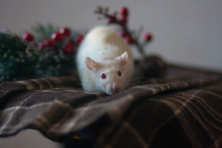 the rat is white on a checkered cloth with a Christmas tree. new year. mouse white on mirror a large. symbol of 2020. Chinese horoscope Stock Photo
