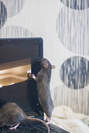 hacker attack. Mouse black. symbol of the new Chinese year 2020. home decorative rat. rat and computer monitor.