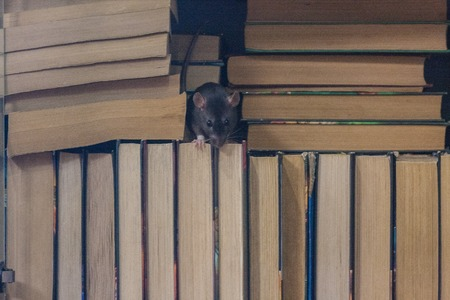 training is independent . black rat in the bookcase. symbol of the 2020 Chinese calendar. the concept of learning