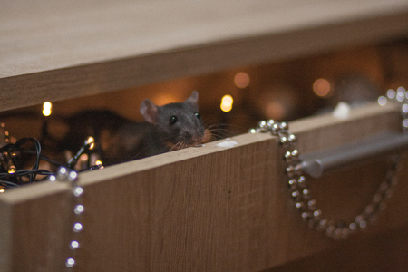 Christmas and new year holiday. black rat in a box with new years. symbol of the 2020 Chinese calendar.