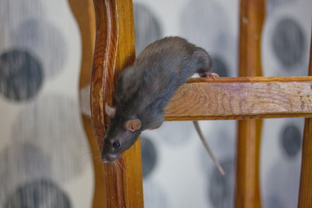 gray rat clambers over the chair. symbol of 2020. mouse chinese calendar.