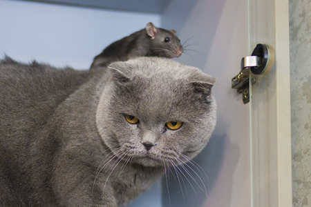 friendship concept. rats gray on a gray cat. symbol of 2020. mouse chinese calendar.