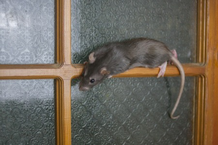 Hard to reach places concept. gray rat clambers vertically on the door. symbol of 2020. mouse chinese calendar. Banco de Imagens - 121290568