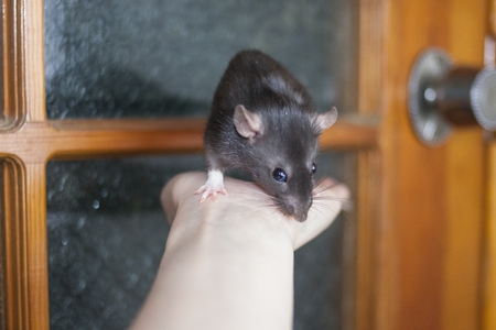 travel concept. rats gray on a human hand. symbol of 2020. mouse chinese calendar. Imagens