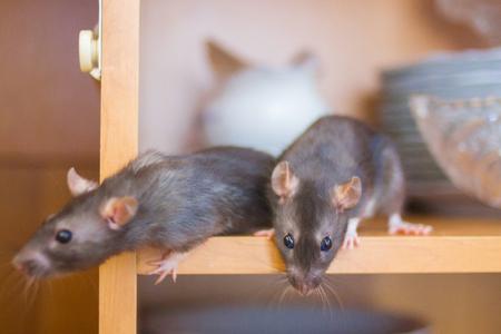 Afbeeldingen Ratten
