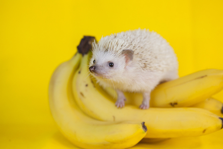 hedgehog on yellow background.