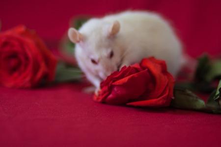 Het concept van parfum met de geur van rozen. Een witte rat snuift een bloem. Stockfoto