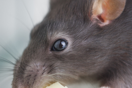 The concept is a keen eye. Gray rat looks straight. Mouse piercing gaze.