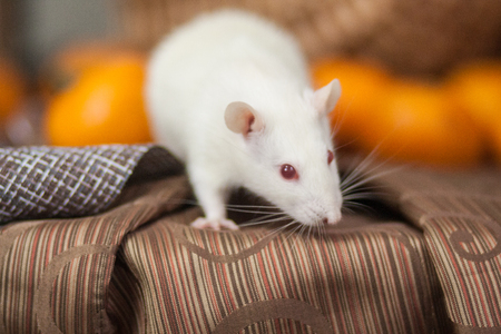 White mouse on the New Year's table. New Year's rat. White rat and mandarins.