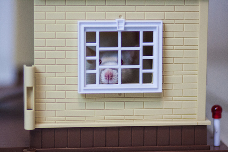 Claustrophobia concept. Mouse in the house. White rat. Look out the window. Mouse fear. Mouse house.