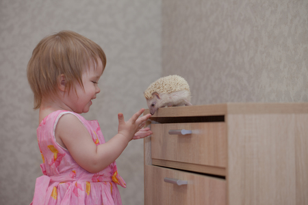The child plays with a hedgehog. Little girl communicates with the animal. Rodent sniffs baby. Stock Photo