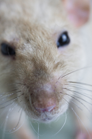 Muzzle rat close-up. The nose of the mouse with a mustache. Rodent looking at the camera.