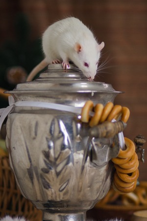 The concept of tea drinking. Rat with a samovar. White mouse sits on the kettle. Imagens