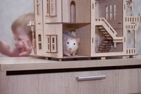 The concept is stingy. White rat hiding from the child. A light mouse sits in a toy house. Little baby screaming.