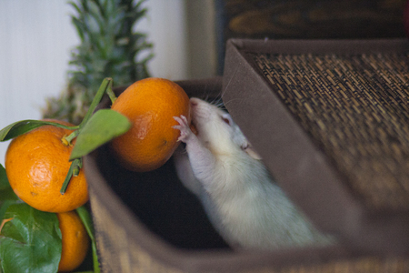 The concept of a stealing mouse. White rat. White mouse. Mouse steals mandarin. Stok Fotoğraf