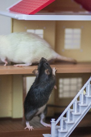 The concept of coming to visit. Visit to a friend. White rat. Gray mouse. Come home.