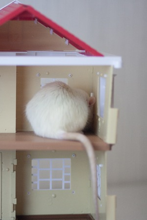 Concealment concept Play hide-and-seek. Mouse hid. Mysterious beast. Gray mouse. White rat.