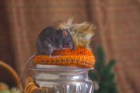 The gray rat sits on a samovar. Mouse with a kettle. Rodent climbed onto the table.