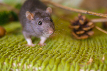 Gray rat close up. Cute mouse looks. Decorative rodents.