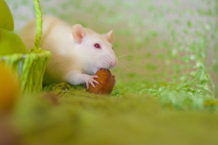 Strong teeth concept. The mouse nibbles the nut. The rat is eating solid food. Imagens