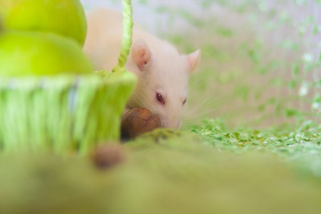 A rat nibbles a nut. White mouse with food. Rodent hides food. Imagens