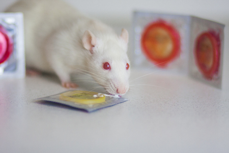 The concept of pregnancy. A rat with condoms. Mouse with contraceptives. Protection from pregnancy.