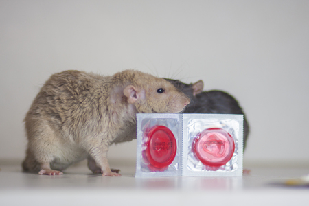 The concept of safe sex. Rats with condoms. Mice with contraceptives. Rodents hugging.